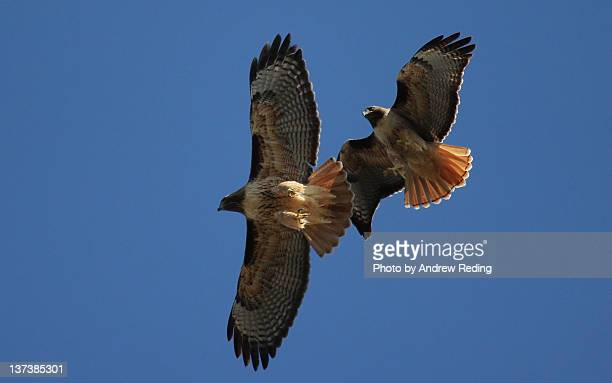 red tailed hawks overhead - red tailed hawk stock photos and pictures