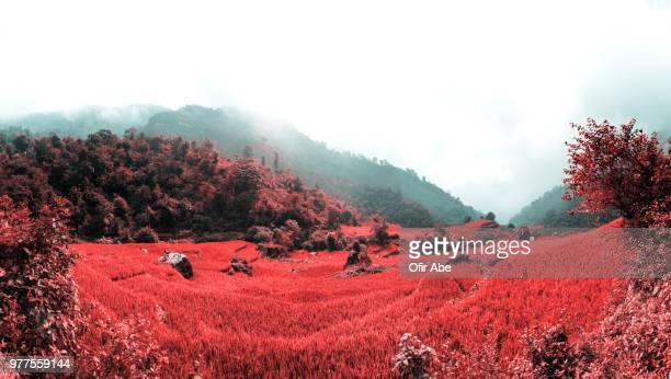 red terraced rice field, rishikesh, uttarakhand, india - uttarakhand stock pictures, royalty-free photos & images