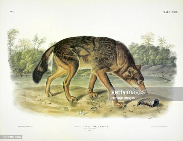 Red Texan Wolf Canis Lupus From The Viviparous Quadrupeds of North America by John J Audubon Pub 1845