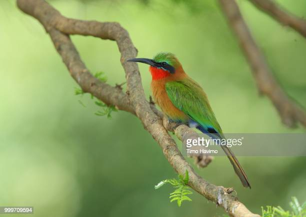 Red throated Bee eater; Murchison Falls Uganda; copyright Timo Havimo