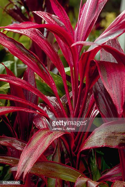 A Red Ti Plant