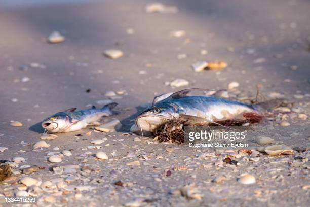 red tide causes fish to wash up dead on delnor-wiggins pass state park beach in naples, florida - florida us state stock pictures, royalty-free photos & images