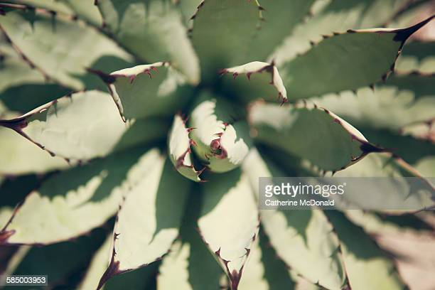 red tipped green agave - san marino california stock pictures, royalty-free photos & images