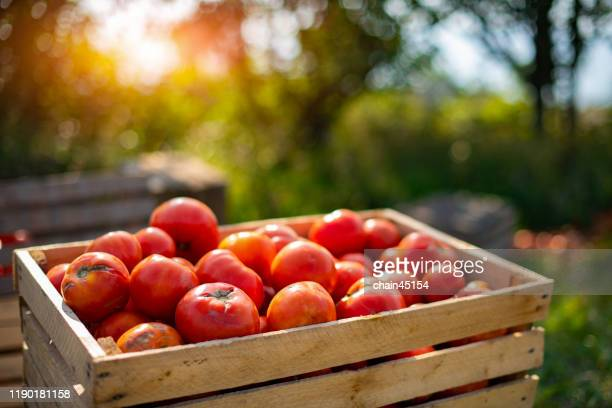 red tomatoes in the wood box under the sunlight in the morning show a freshness of fruit and vegetable in the tomato farm and beautiful bright green meadow. - tomato stock pictures, royalty-free photos & images