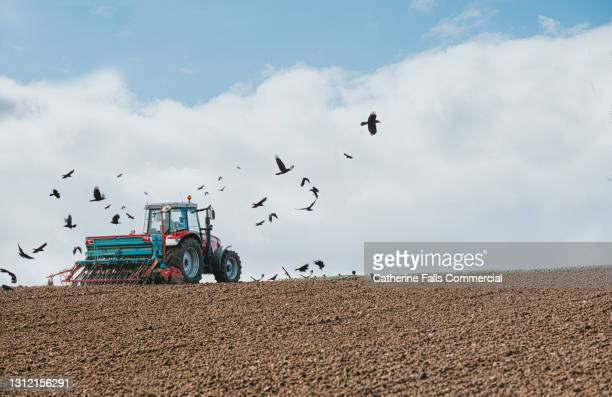 a red tractor pulls a seeder and sows barley seeds while opportunistic crows surround the tractor - moving after stock pictures, royalty-free photos & images