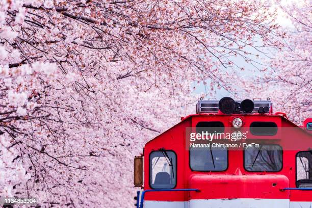 red train amidst pink cherry blossoms - busan stock pictures, royalty-free photos & images
