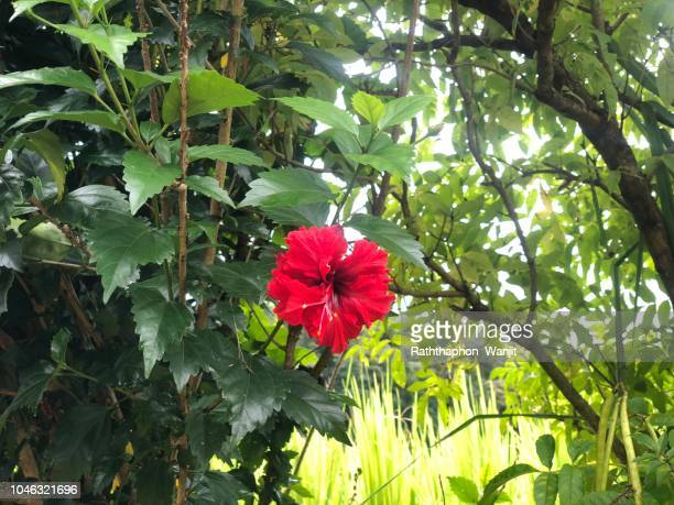 60 Top Hibiscus Tree Pictures Photos And Images Getty Images