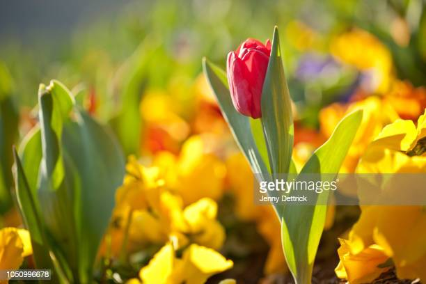 red tulip and yellow pansies - blossom stock pictures, royalty-free photos & images