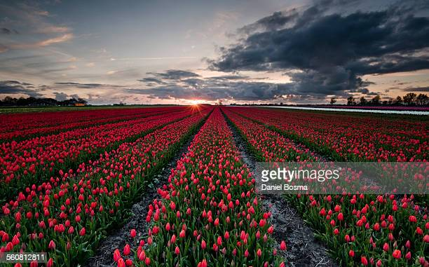 Red tulip field in the Netherlands during sunset