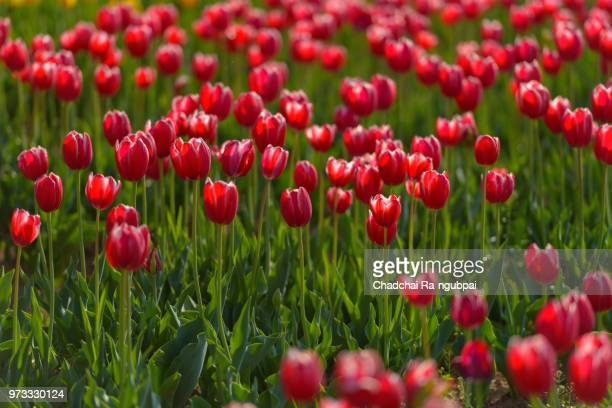 Red tulip flower in the garden with tulip background pattern.