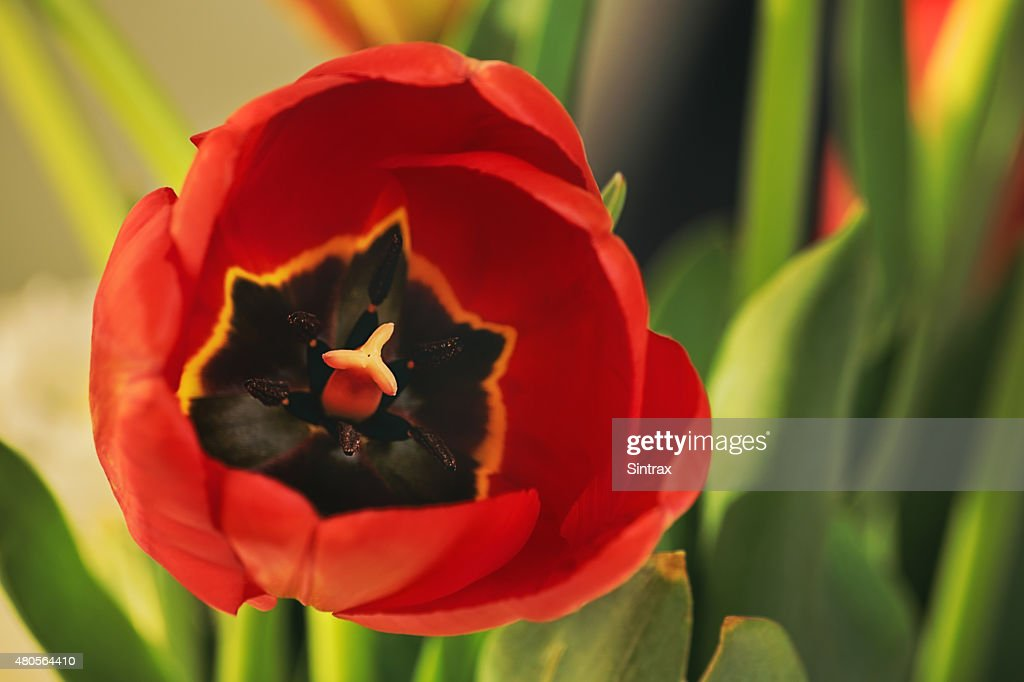 Red tulip flower : Stock Photo