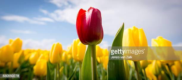 Red tulip in a filed of yellow tulips