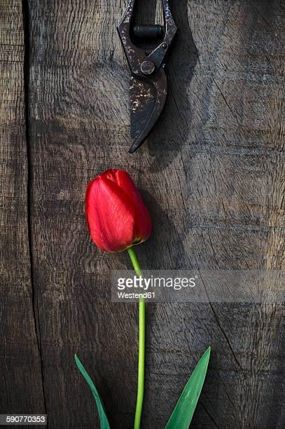 Red tulip on wood, pruner, flower head, cut