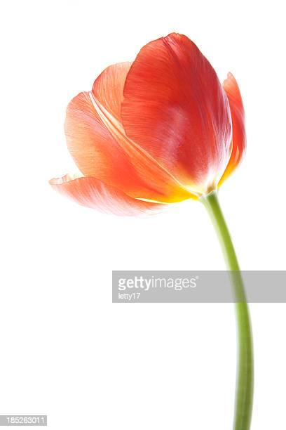 red tulip - tulip stock pictures, royalty-free photos & images