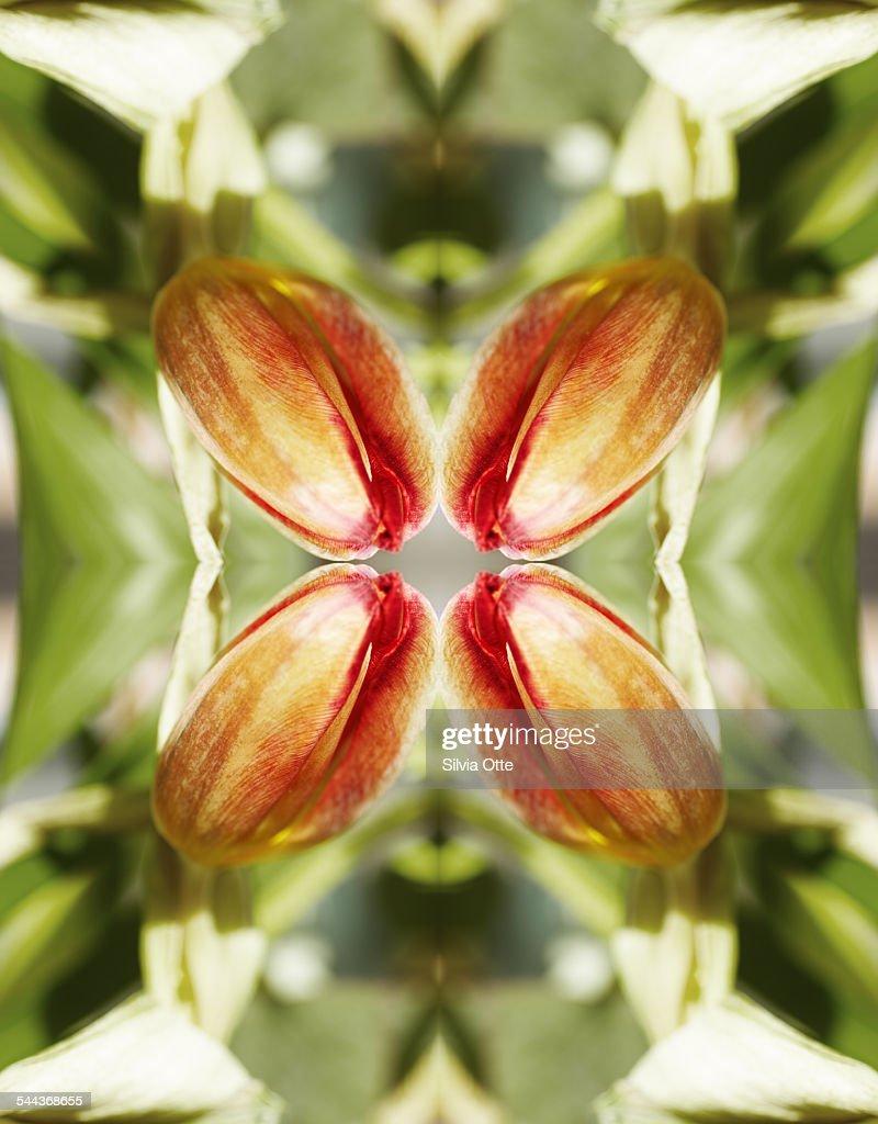 Red tulip : Stock Photo