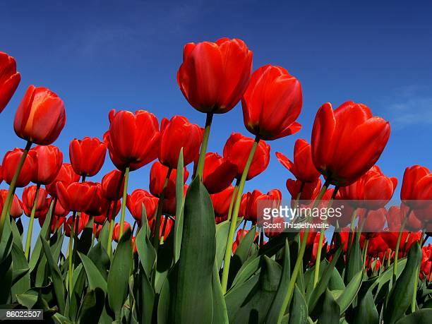 Red Tulips against sky