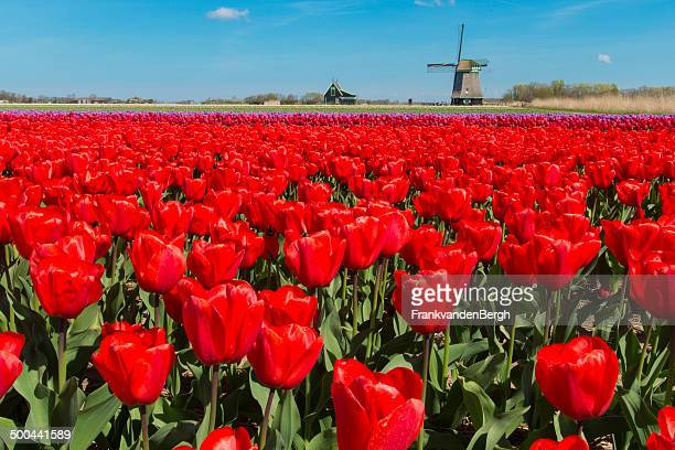 red tulips and windmill - keukenhof gardens stock pictures, royalty-free photos & images