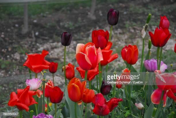 red tulips blooming in park - gerhard schimpf stock photos and pictures