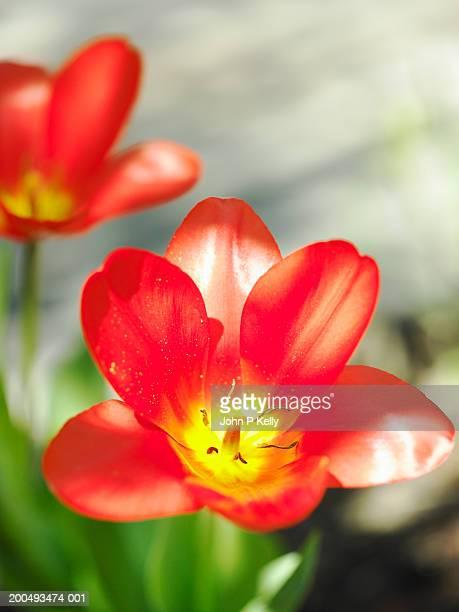 red tulips, close-up (soft focus) - コロラド州 ニューキャッスル ストックフォトと画像
