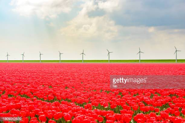 """red tulips growing in a field in an agricultural landscape during springtime - """"sjoerd van der wal"""" or """"sjo"""" stock pictures, royalty-free photos & images"""