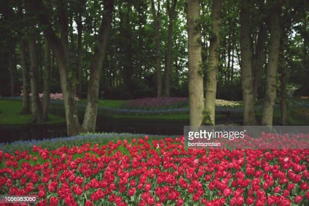 red tulips growing in park - bortes photos et images de collection