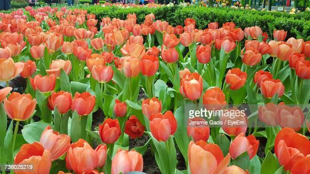Red Tulips Growing On Field