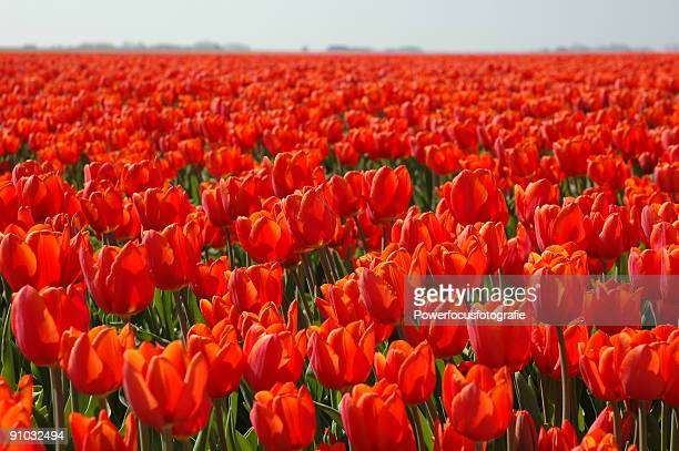Red tulips Holland