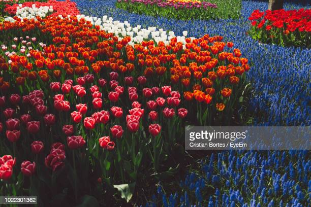 red tulips in field - bortes stock photos and pictures