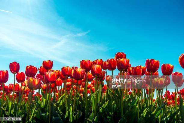 tulipes rouges dans le domaine de fleur - tulipe photos et images de collection