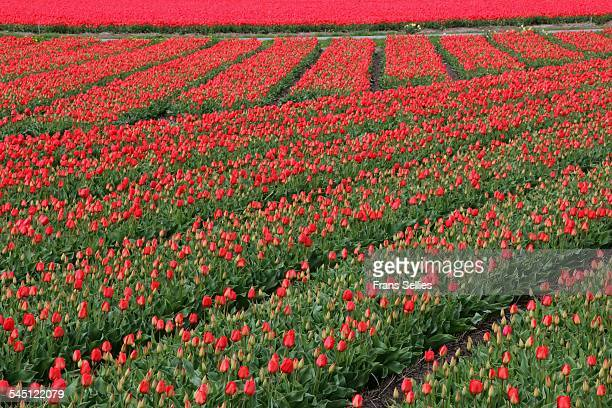 red tulips in spring, the netherlands - frans sellies stock pictures, royalty-free photos & images