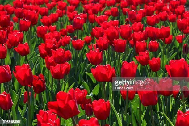 red tulips in the spring - frans sellies stockfoto's en -beelden