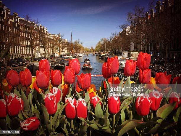 Red Tulips On Market Stall, Canal In Background