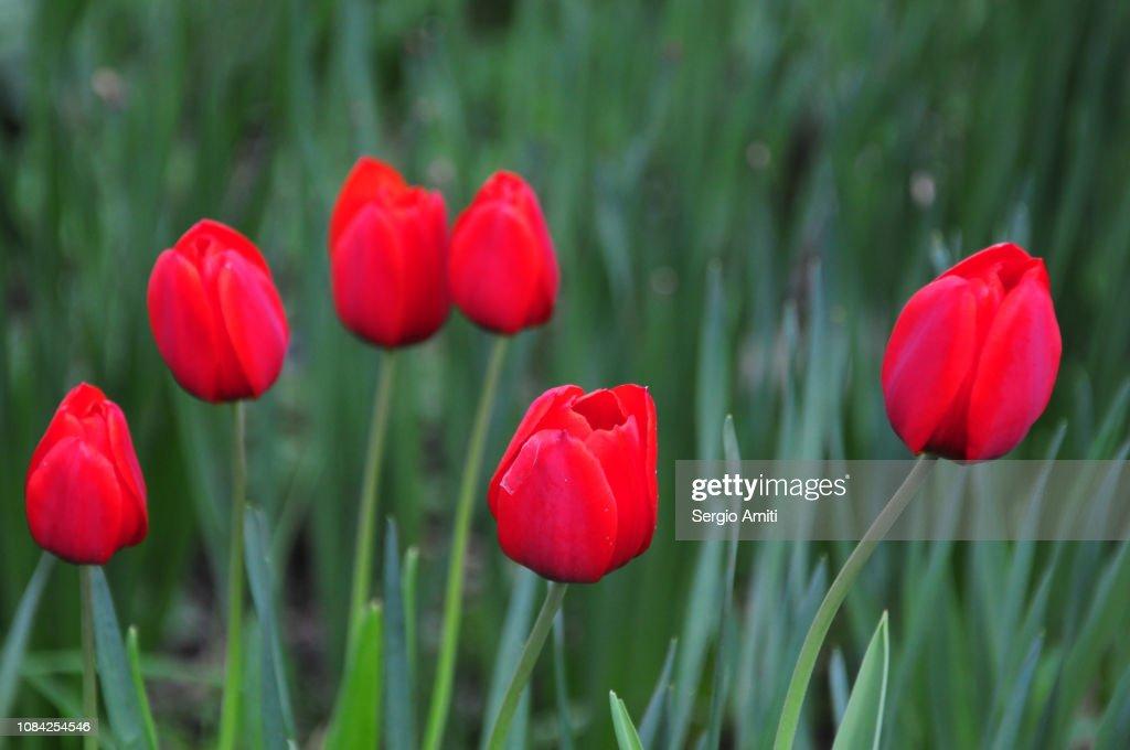 Red tulips : Stock Photo
