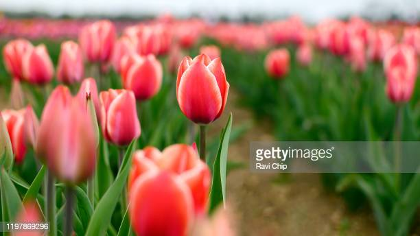 red tulips. - april stock pictures, royalty-free photos & images