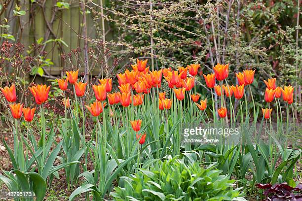 red tulips - andrew dernie stock pictures, royalty-free photos & images