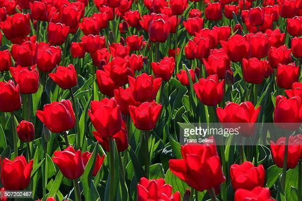 red tulips - frans sellies stockfoto's en -beelden