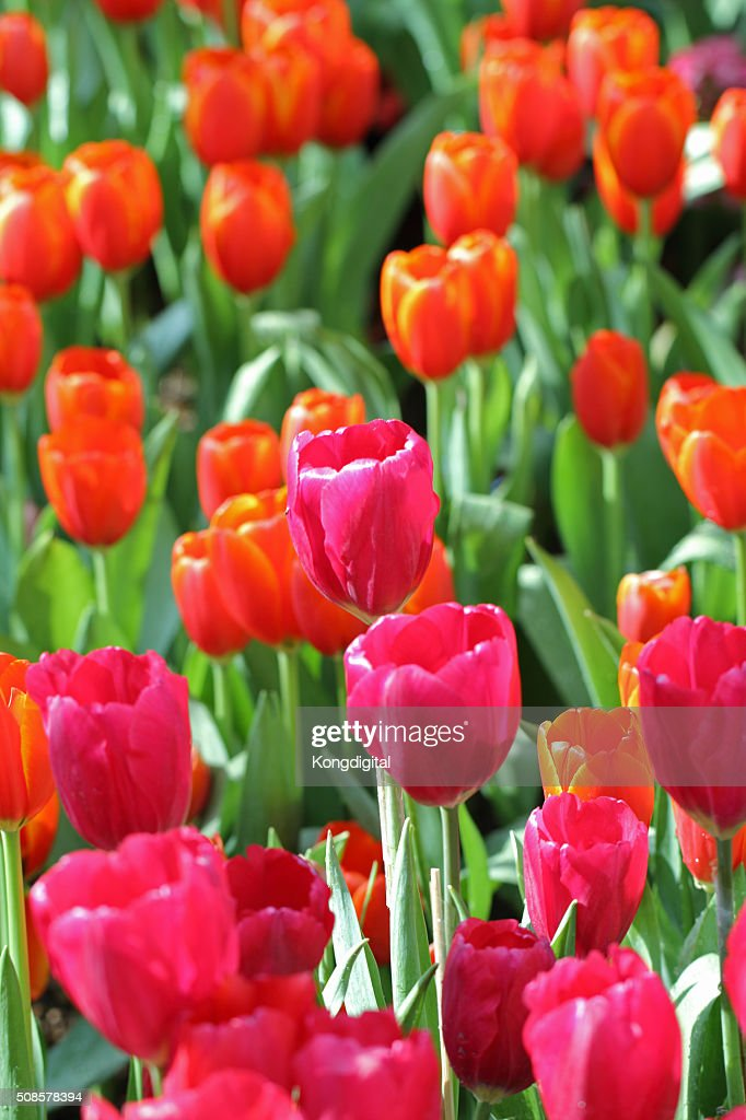 Red tulips : Stockfoto