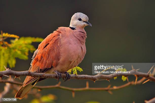 red turtle dove - turtle doves stock photos and pictures