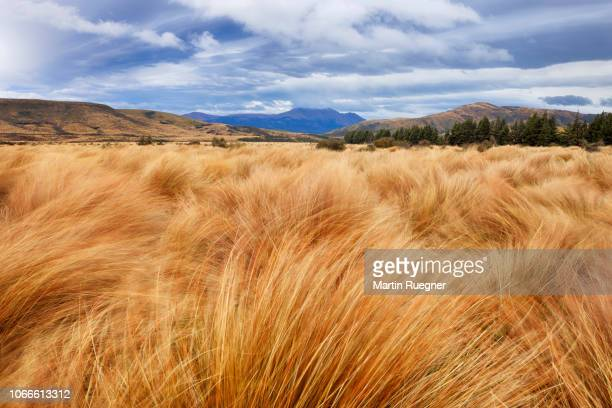 Red Tussock (Chionochloa rubra) grass at Red Tussock Conservation Area near Mossburn with dramatic sky. Grass is moving in the wind. Mossburn, Southland, South Island, New Zealand, Australasia, Oceania.