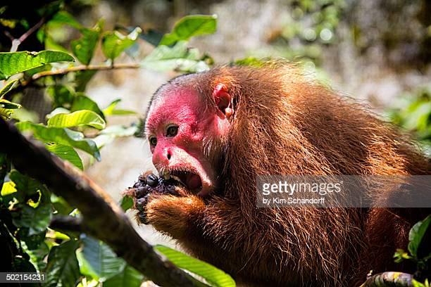 Red uakari monkey eating