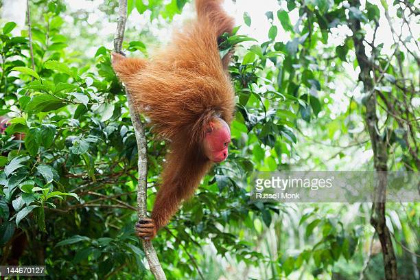 Red Uakari monkey hanging from a tropical vine.