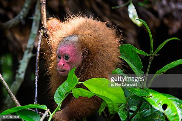 Red uakari monkey in the jungle