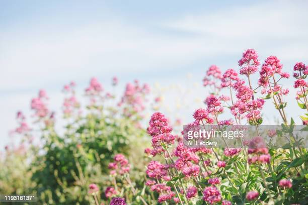 red valerian growing in a hedge - valerian plant stock pictures, royalty-free photos & images