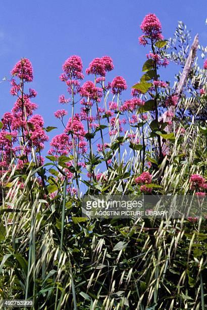 Red valerian in bloom Valerianaceae