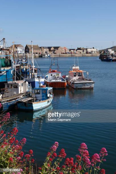 red valerian or jupiter's beard (centranthus ruber) at the fishing port of howth, near dublin, county fingal, leinster, ireland, publicground - {{asset.href}} stock pictures, royalty-free photos & images