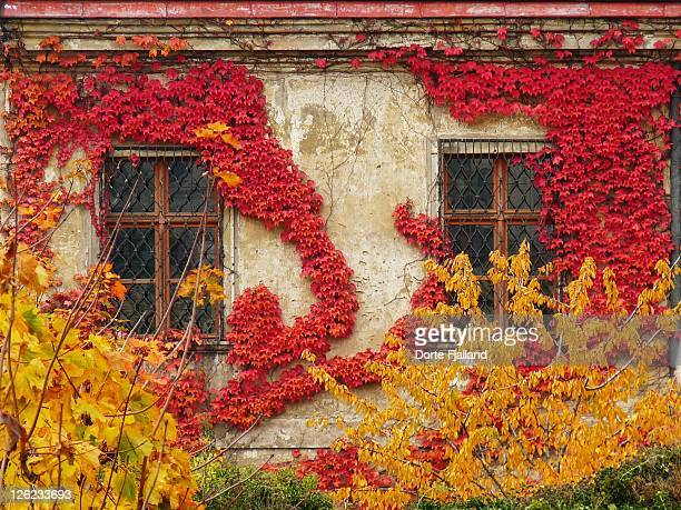 Red vine leaves decorating wall with two windows