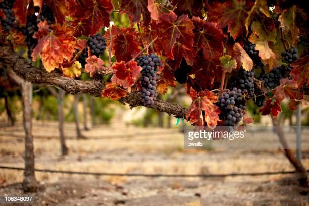 Rouge vignes dans le vignoble