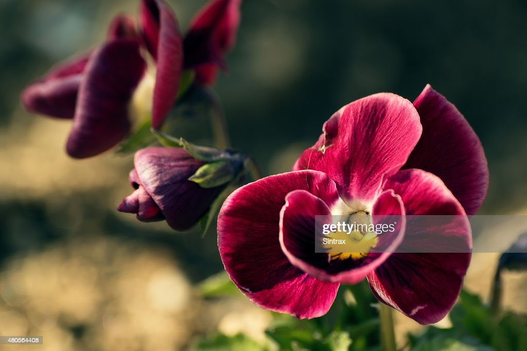 Red violet flower : Stock Photo
