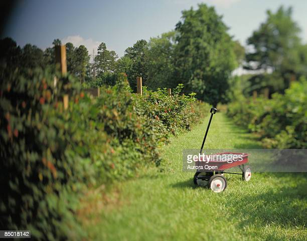 A red wagon sits in the middle of a row of blackberry plants in prime picking season.