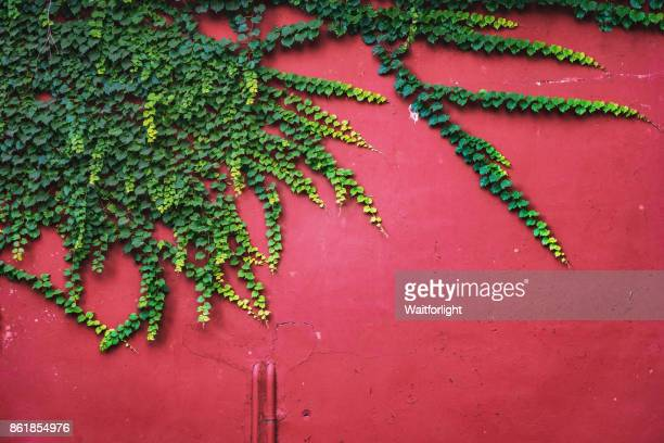 red wall with ivy - edera foto e immagini stock